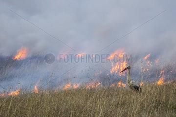 White Stork (Ciconia ciconia)  feeding on the edge of a bush fire  Masai-Mara Reserve  Kenya