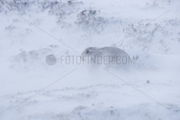 Mountain hare (Lepus timidus) laying in the snow during a snow storm  Cairngorm  Scotland