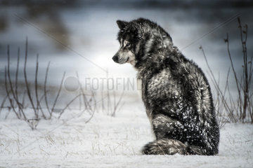 Canadian Eskimo Dog waiting in the blizzard  Churchill  Manitoba  Canada