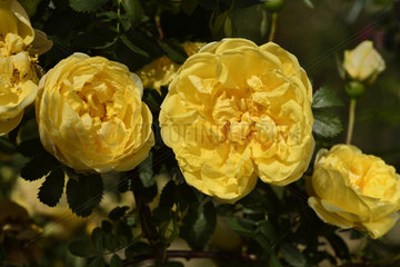 Rose Flower 'Persian Yellow'  discoverer: Sir Henry Willock (UK)  1837); Synonym: Rosa foetida 'Persian Yellow'; Group: Ancient Roses - Hybrid Roses from Foetida (HFt)  Rose garden of L'Haÿ-les-Roses  France