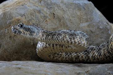 Speckled rattlesnake (Crotalus pyrrhus)  Mexico/USA