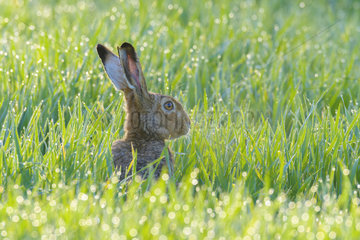 European hare (Lepus europaeus) in a dewy spring cereal field  Hesse  Germany
