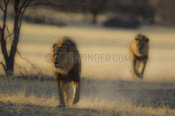 Lion (Panthera leo). Two black-maned Kalahari males  roaming in the dry Auob riverbed in the early morning. Kalahari Desert  Kgalagadi Transfrontier Park  South Africa.