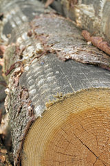 silver fir log (Abies alba) with marks of the harvester