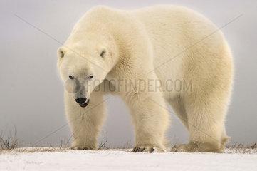Polar bear (Ursus maritimus) Angry big polar bear  Churchill  Manitoba  Canada