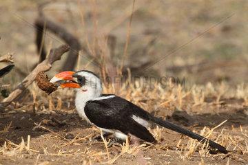 Von der Decken's Hornbill (Tockus deckeni) male raising a dung looking for insects  Tanzania