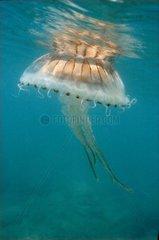 Jellyfish swimming in edge of beach