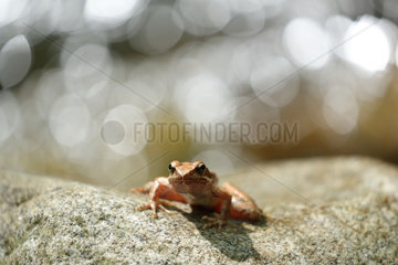 Greek frog (Rana graeca) on rock  Bulgaria