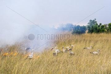 White Storks (Ciconia ciconia)  feeding on the edge of a bush fire  Masai-Mara Reserve  Kenya