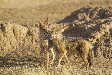 Black-backed Jackal (Canis mesomelas). Playful. Kalahari Desert  Kgalagadi Transfrontier Park  South Africa.