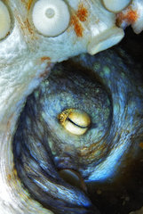 Common Octopus (Octopus vulgaris)  Tenerife  Islas Canarias