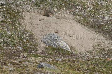 Ungava collared lemming or Labrador collared lemming (Dicrostonyx hudsonius) at burrow entrance  Nunavik  Quebec  Canada