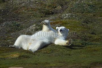 Polar bear (Ursus maritimus) rolling around on grass  Torngat Mountains National Park  Newfoundland and Labrador  Canada