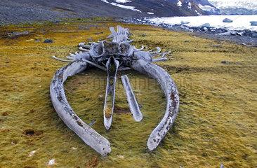 Whale skeleton  skeletal remains at Comandante Ferraz Base (Brazil). Antarctic Peninsula.
