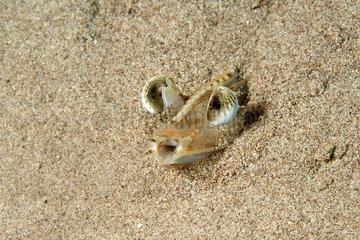 Eyes of Caramot shrimp (Melicertus kerathurus) in the sand