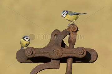 Blue tit (Cyanistes caeruleus) perched on a rusty piece of metal  England