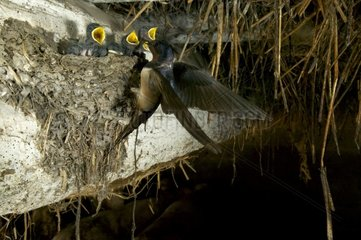 Nestlings of Barn Swallow asking for food in cowshed France