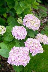 Hydrangea'Seascape' in bloom in a garden