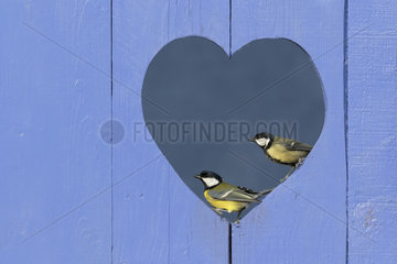 Great Tit (Parus major) perched in a hole in a shape of a heart in a blue door  England