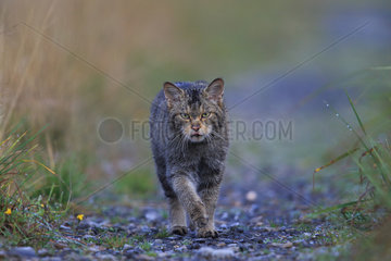 Wild cat (Felis silsvestris) walking in the rain  Ardennes