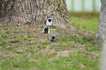Mating of Pied Wagtails in Estonia