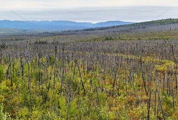 Dalton Highway : from Fairbanks to Prudhoe Bay  Vegetation repels after fires caused by lightning  Alaska  USA