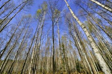 Birch forest in the spring in Estonia
