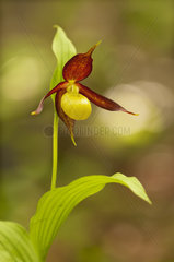 Ladies slipper Orchid (Cypripedium calceolus) in the spring in a wood in the mountains  Drome  France