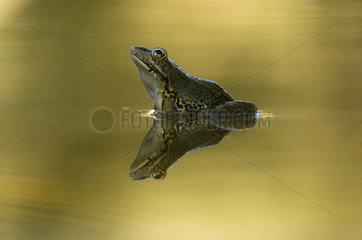 Common Frog (Pelophylax perezi) hunting. Huesca  Spain