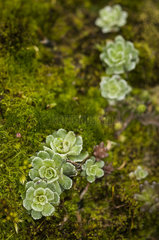 Livelong Saxifrage (Saxifraga paniculata) in the limestone rock of a mountain in spring  Drome  Rhone-Alpes  France