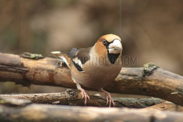 Hawfinch surprised on a branch Illfurth France