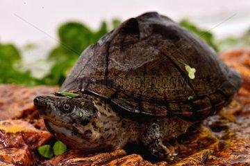 Young Loggerhead musk turtle three-quarter shot