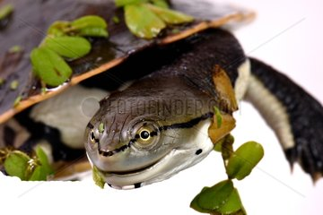 Young Hilaire's Side-nacked Turtle on white background