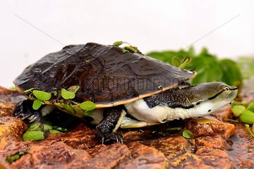 Portrait of young Hilaire's Side-nacked Turtle in water