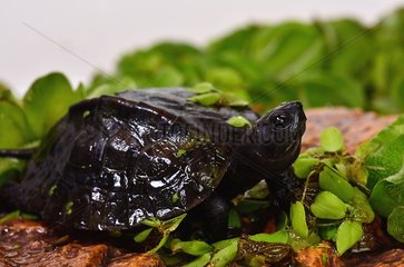 Young Red-necked Pond Turtle prfile shot