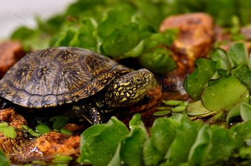 Young European Pond Turtle profile shot