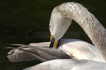 Whooper Swan (Cygnus cygnus) preening