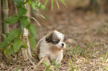 Shih Tzu  puppy (Canis familiaris)