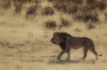 Lion (Panthera leo). Black-maned Kalahari male  roaming in the dry Auob riverbed. Kalahari Desert  Kgalagadi Transfrontier Park  South Africa.