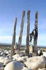 Wooden planks in stones on a beach Grandcamp-Maisy France