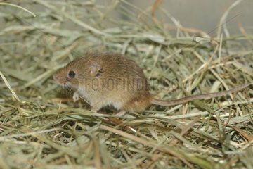 Harvest mouse in grass Isere France