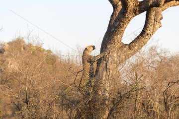 African Leopard (Panthera pardus pardus)  climbing in a tree with a prey  Kalahari reserve  South African Republic