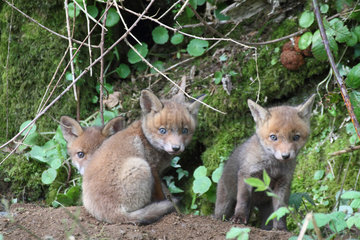 Red fox (Vulpes vulpes) youngs about 5 weeks old playing near the burrow  Brittany  France