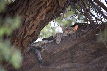 Southern African Wildcat (Felis silvestris cafra) napping in an Acacia tree  Namibia