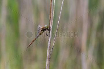 Norfolk Hawker (Aeshna isoceles) on a reed stem in spring  forest pond  massif de la Reine  Lorraine  France