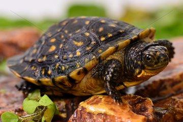Young Blanding's turtle three-quarter sht