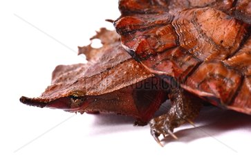 Portrait of young Matamata Turtle on white background