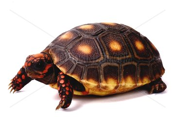 Young Red-footed Tortoise on white background