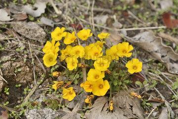 May flower (Oxalis perdicaria)  Oxalidaceae  Flowering in autumn  Parque nacional La Campana  V Region of Valparaiso  Chile