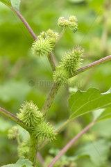 Common cocklebur (Xanthium strumarium)